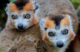 lemurien - parc berry