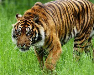 tigre_sumatra