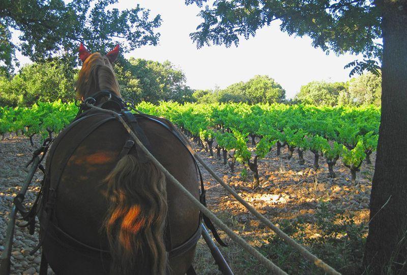 cheval-vigne