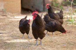 poules-noires-du-berry